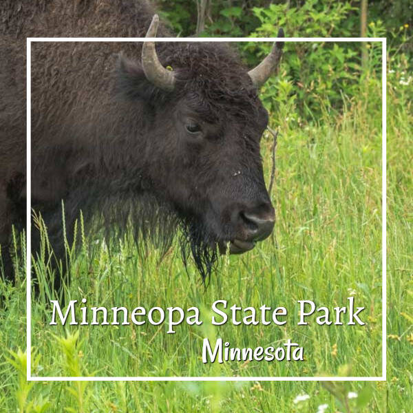 "close-up of a bison in grass with text ""Minneopa State Park, Minnesota"""