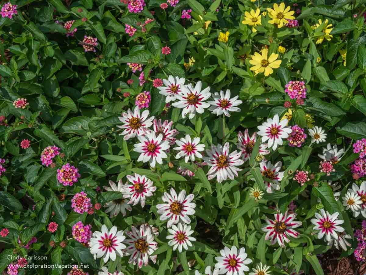 zinnia blossoms