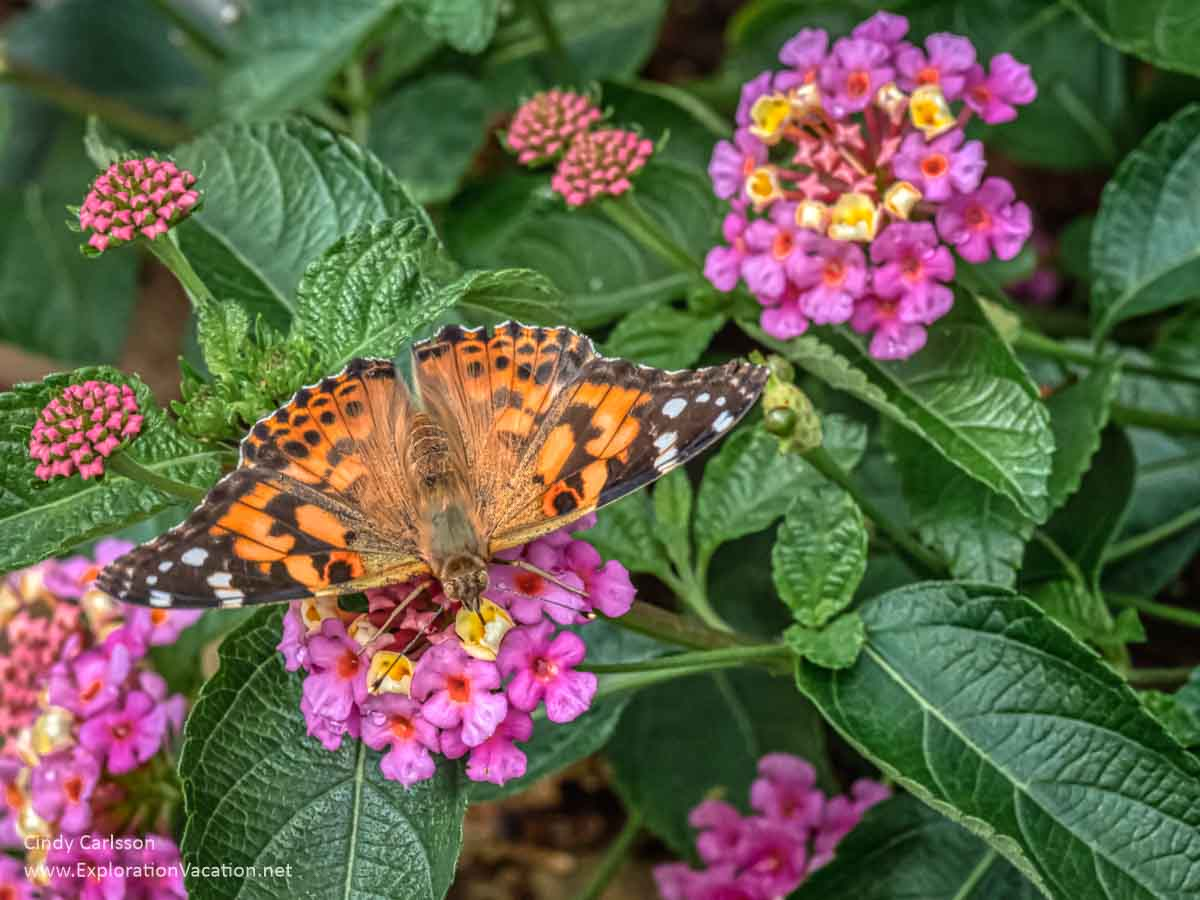 orange and black painted lady butterfly on a flower