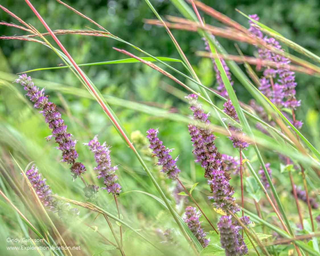 purple flower spikes and grass
