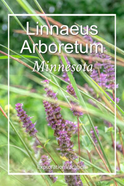 "prairie flowers and grasses with text ""Linnaeus Arboretum, Minnesota"""