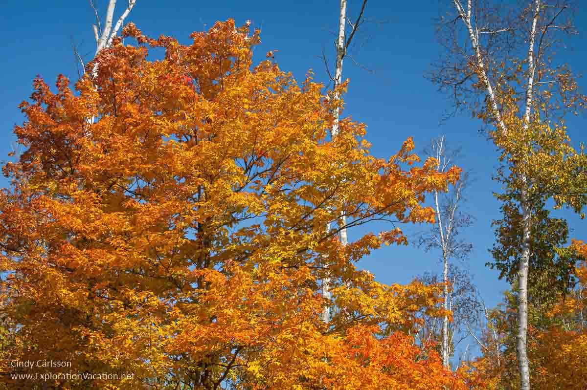 Maple with bright orange leaves