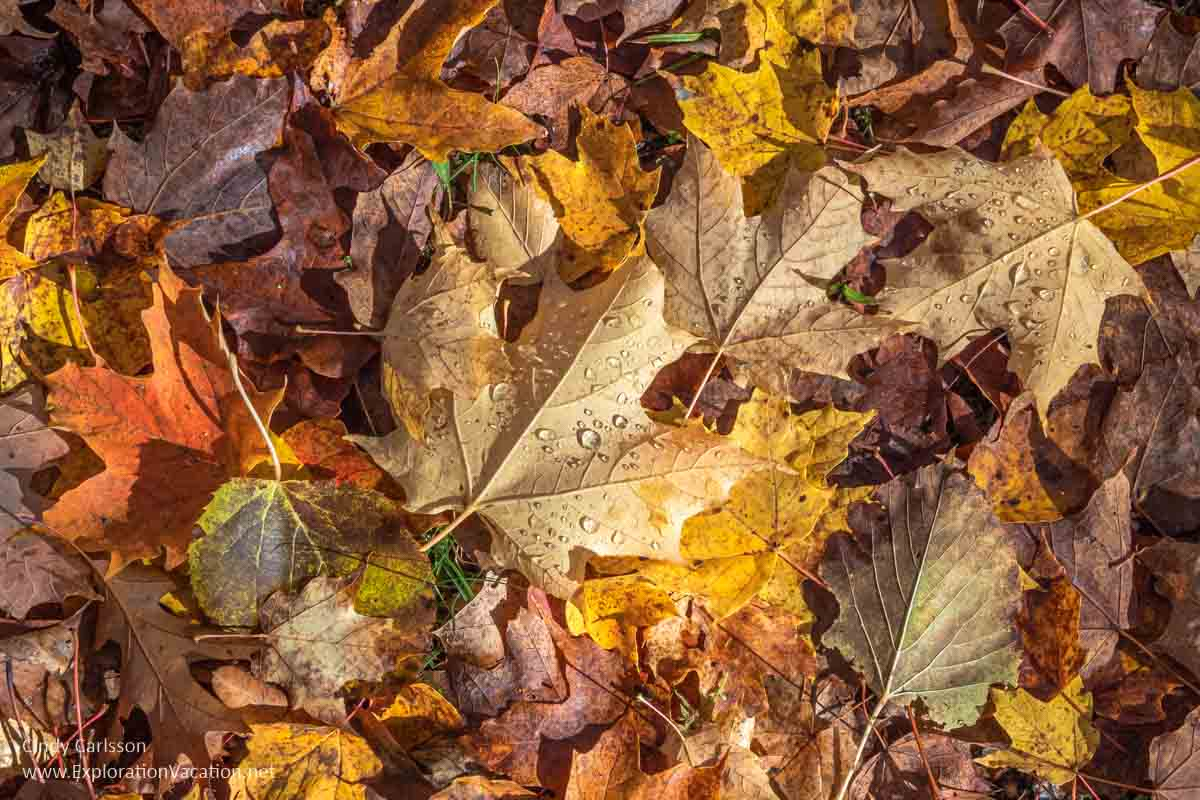 colored maple leaves on ground