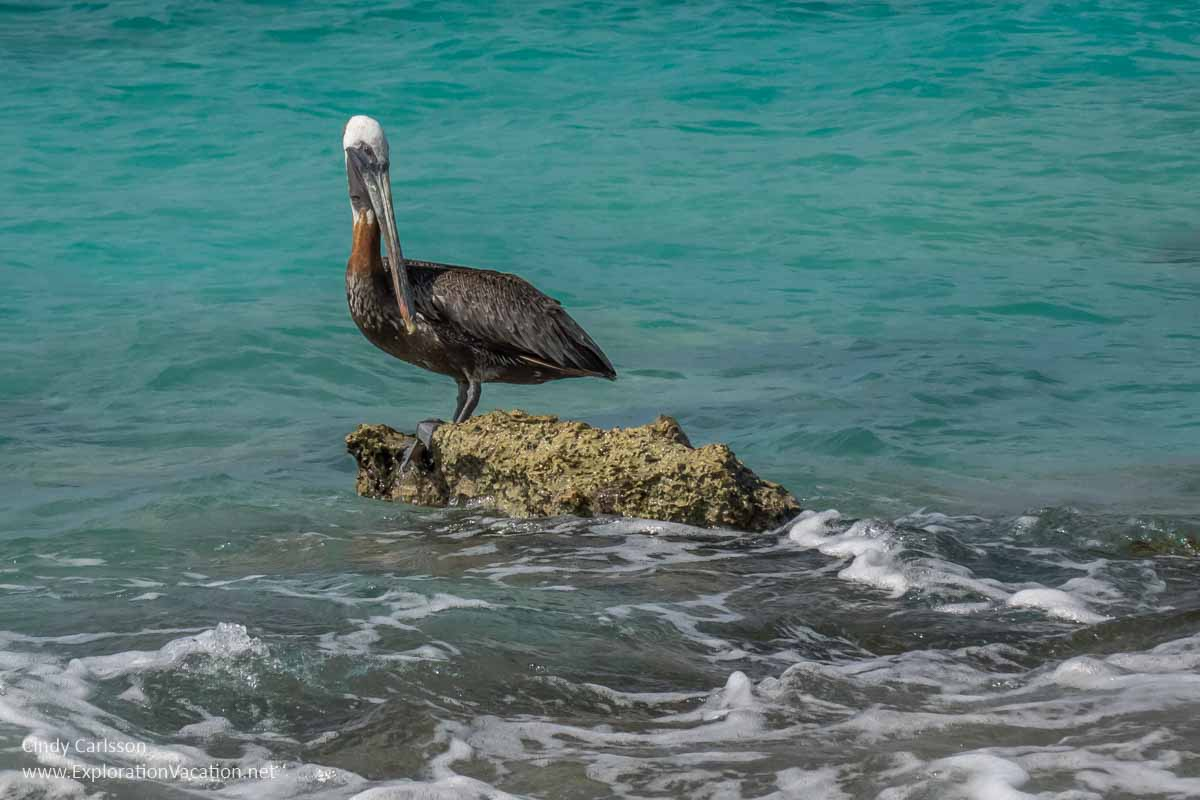 pelican on a rock surrounded by water