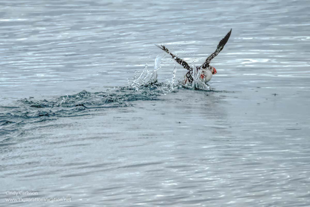 puffin taking flight
