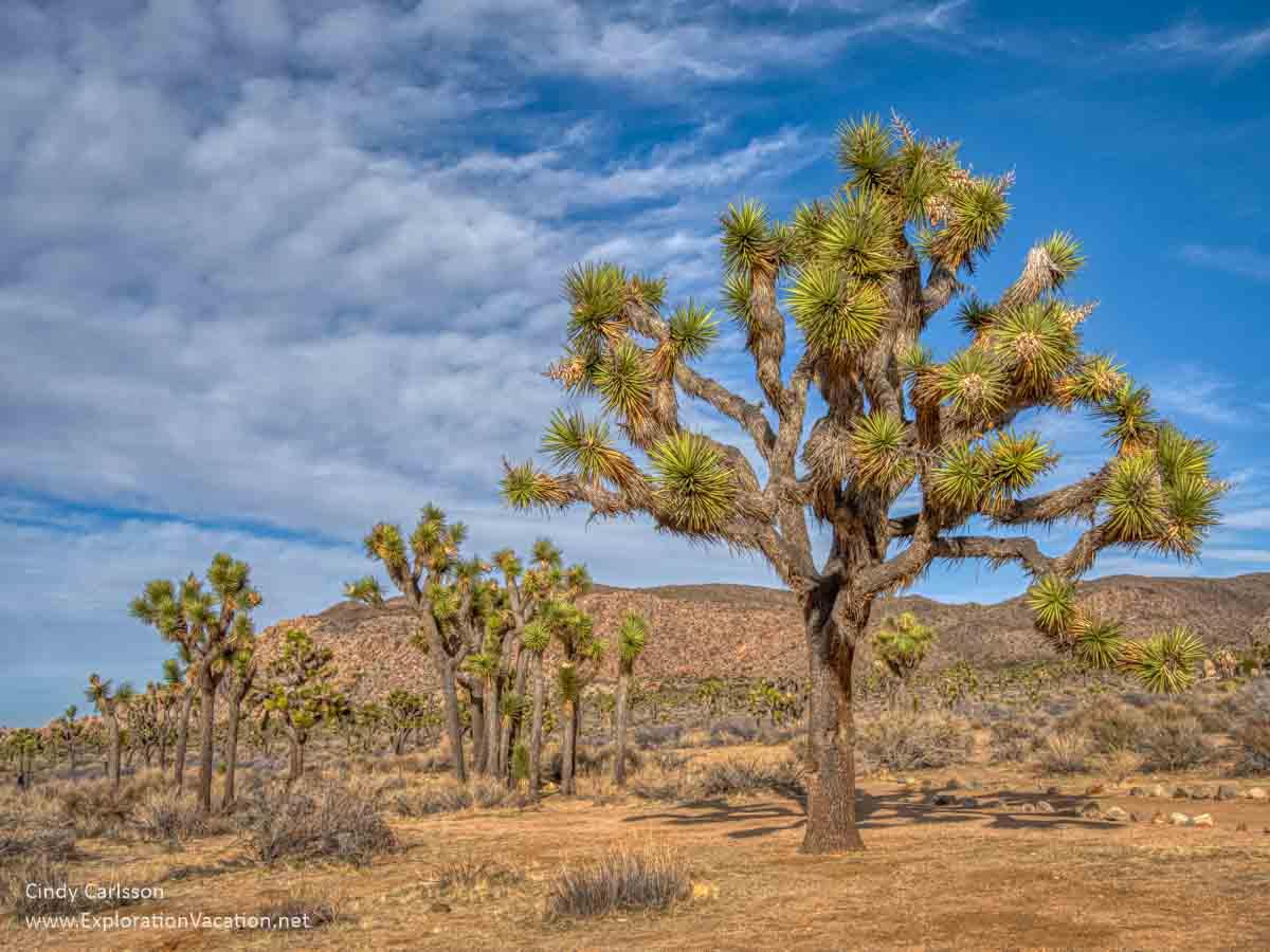 photo of Joshua tree plants