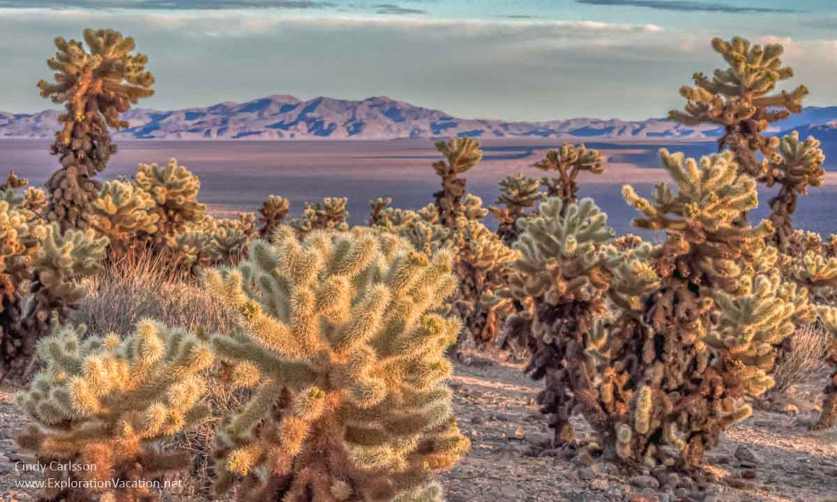 photo of cholla cactus with distant mountains near sunset