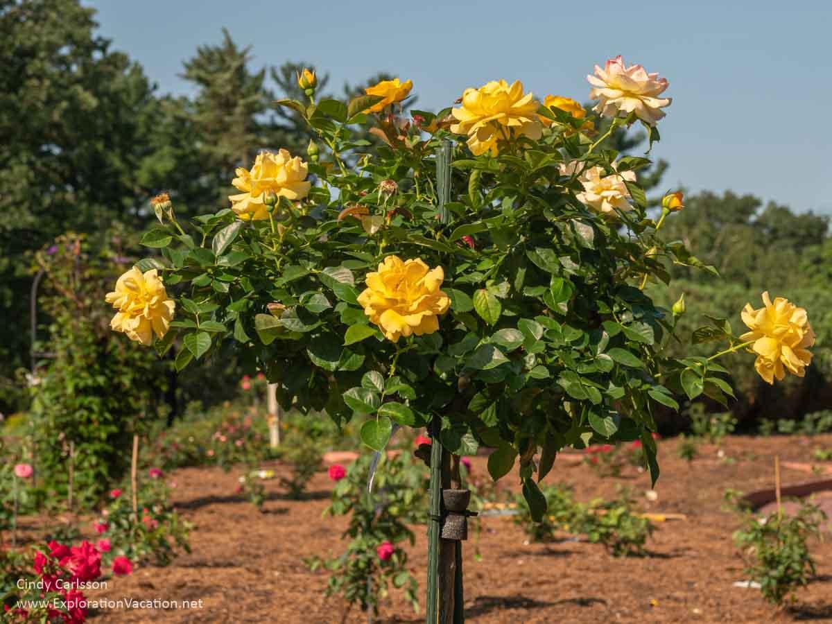 Yellow tree roses in the Virgin Clemens Rose Garden