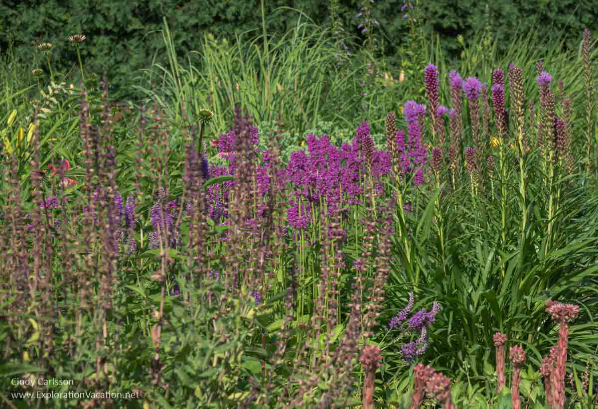purple flowers and other native prairie plants