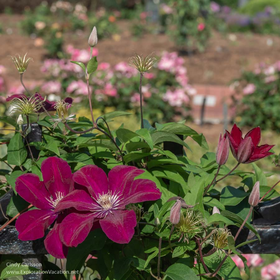 clematis blossoms with roses in the backgroun