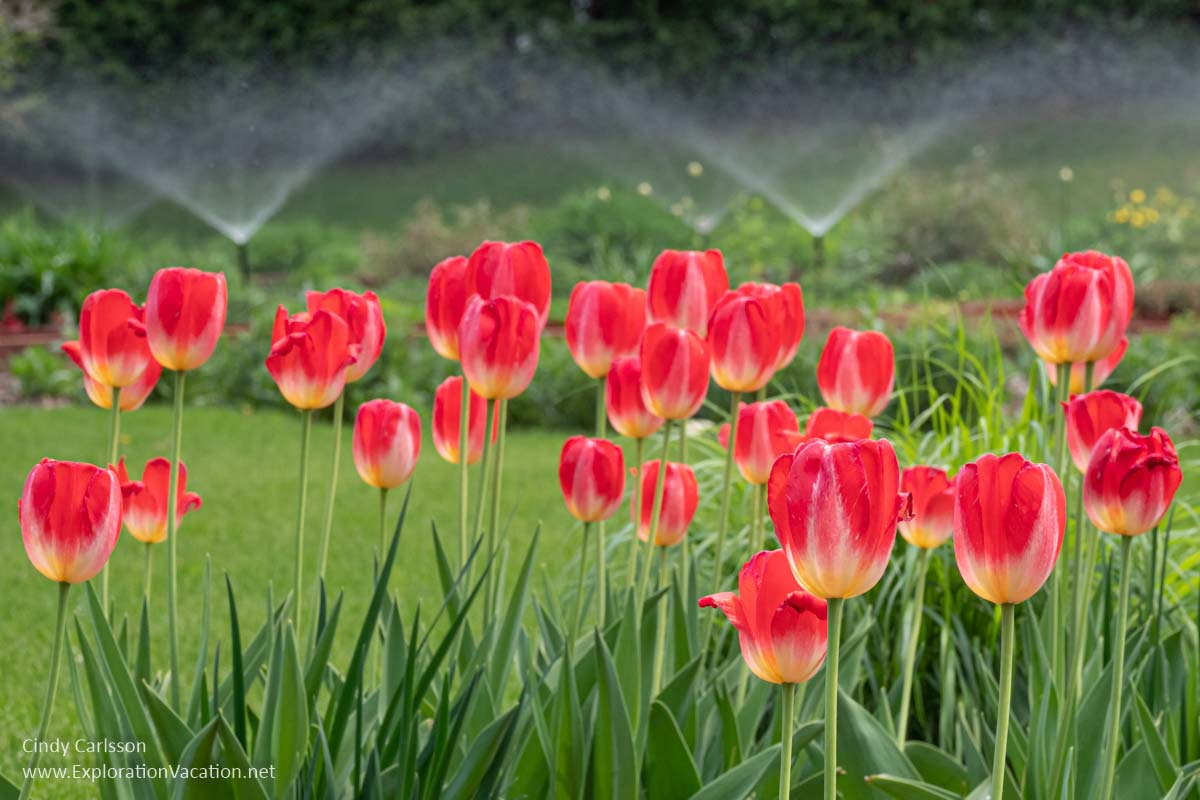 red tulips in a grassy yard with sprinklers watering in the background