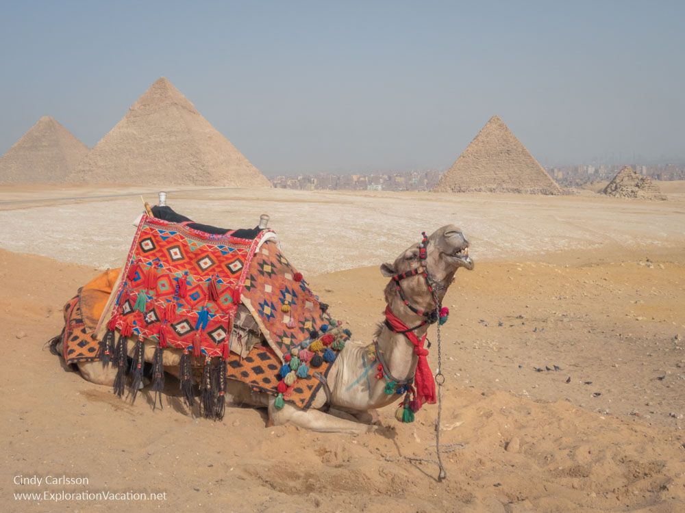 photo of a camel by the Great Pyramids