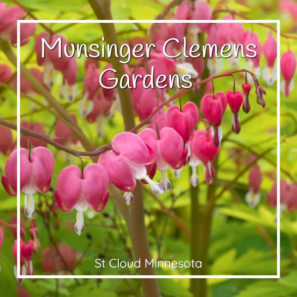 """photo of bleeding heart with text """"Munsinger Clemens Gardens St Cloud Minnesota"""""""