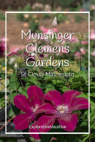 """photo of clematis blossom with text """"Munsinger Clemens Gardens St Cloud Minnesota"""""""