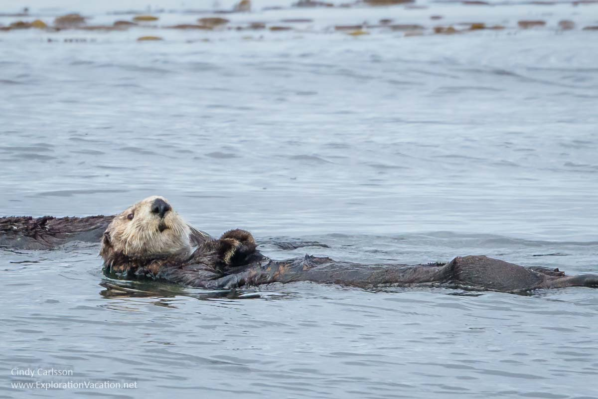 sea otter floating in Sitka Sound