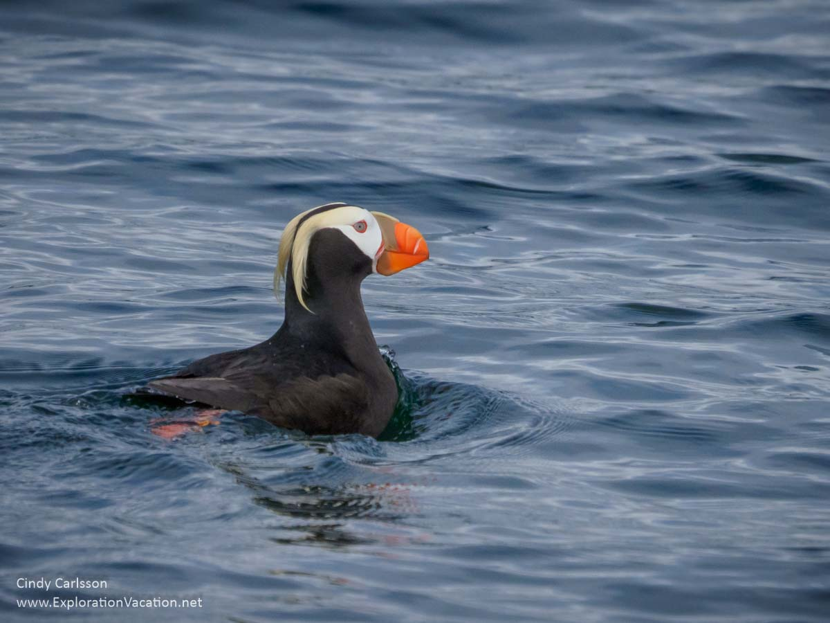 tufted puffin in the water of Sitka Sound Alaska