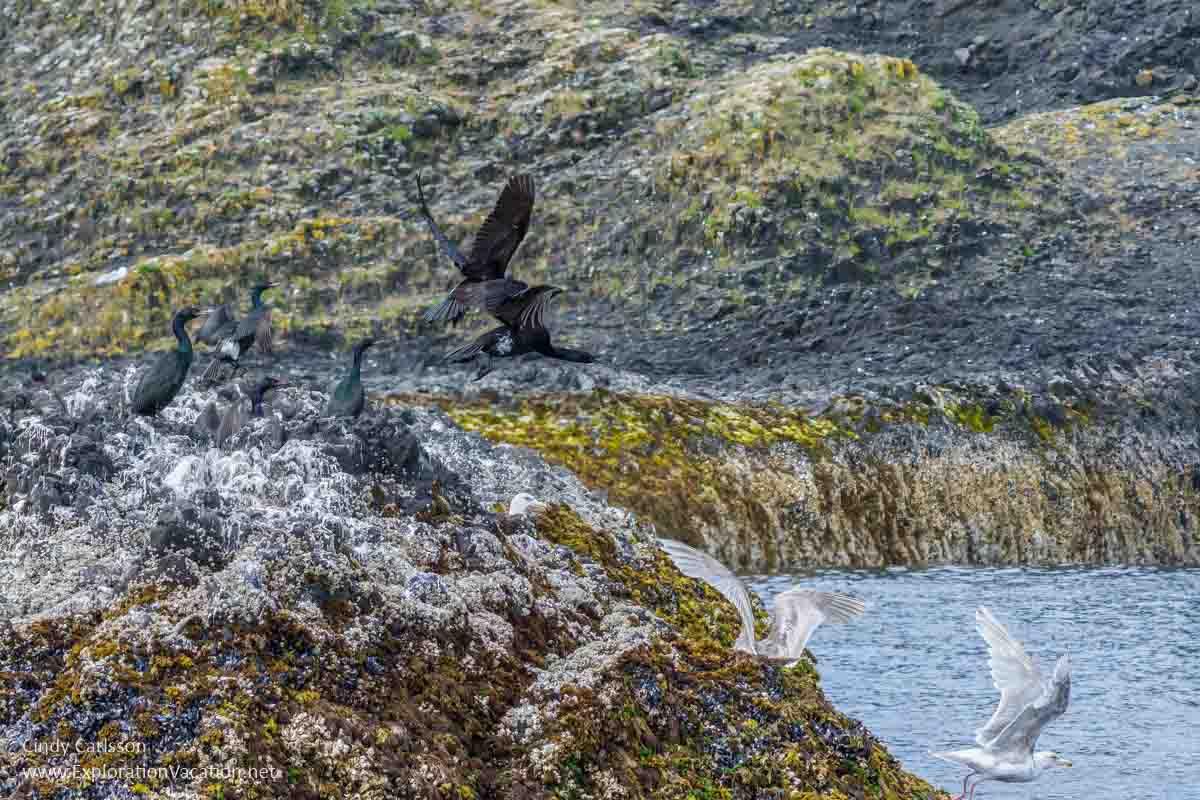 cormorants and glaucous-winged gulls on rocks on St Lazaria Island Alaska