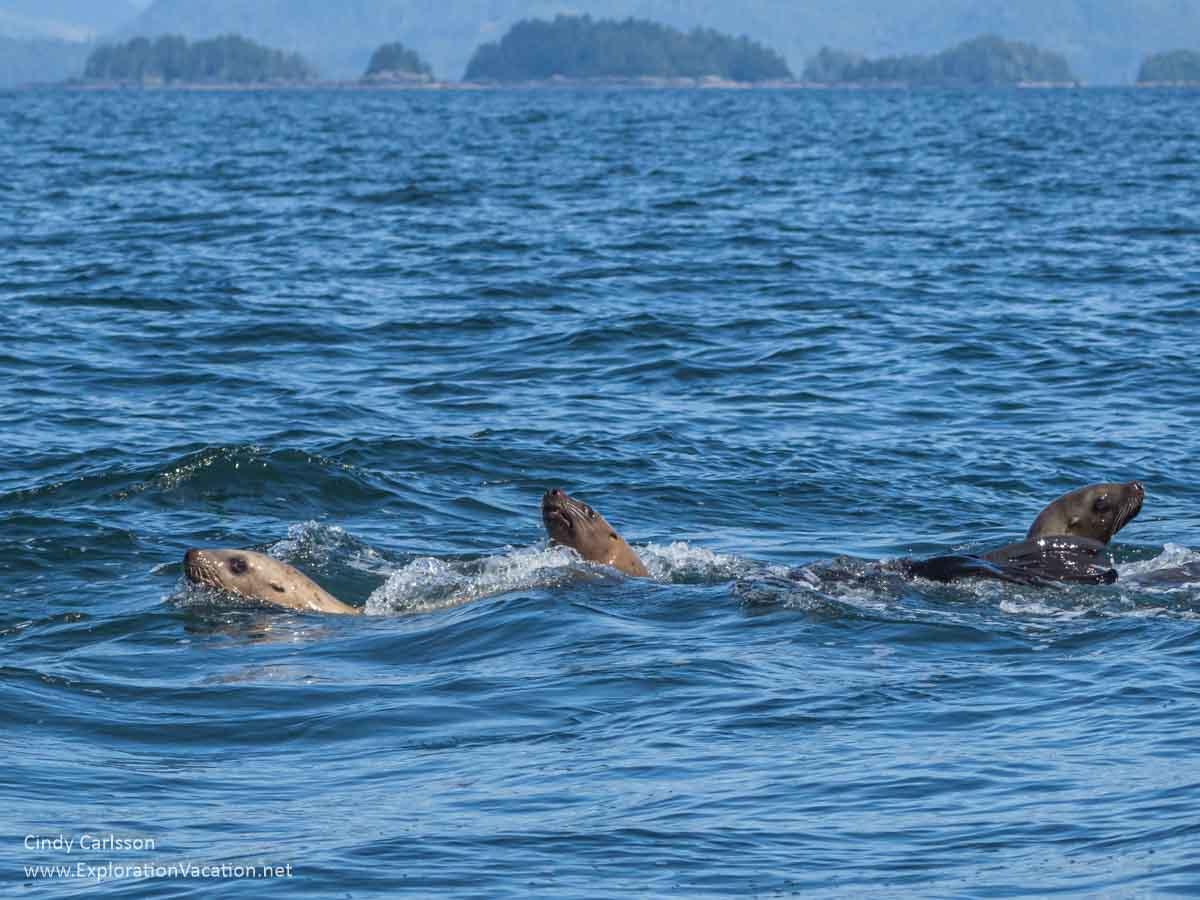 sea lions swimming in Sitka Sound Alaska