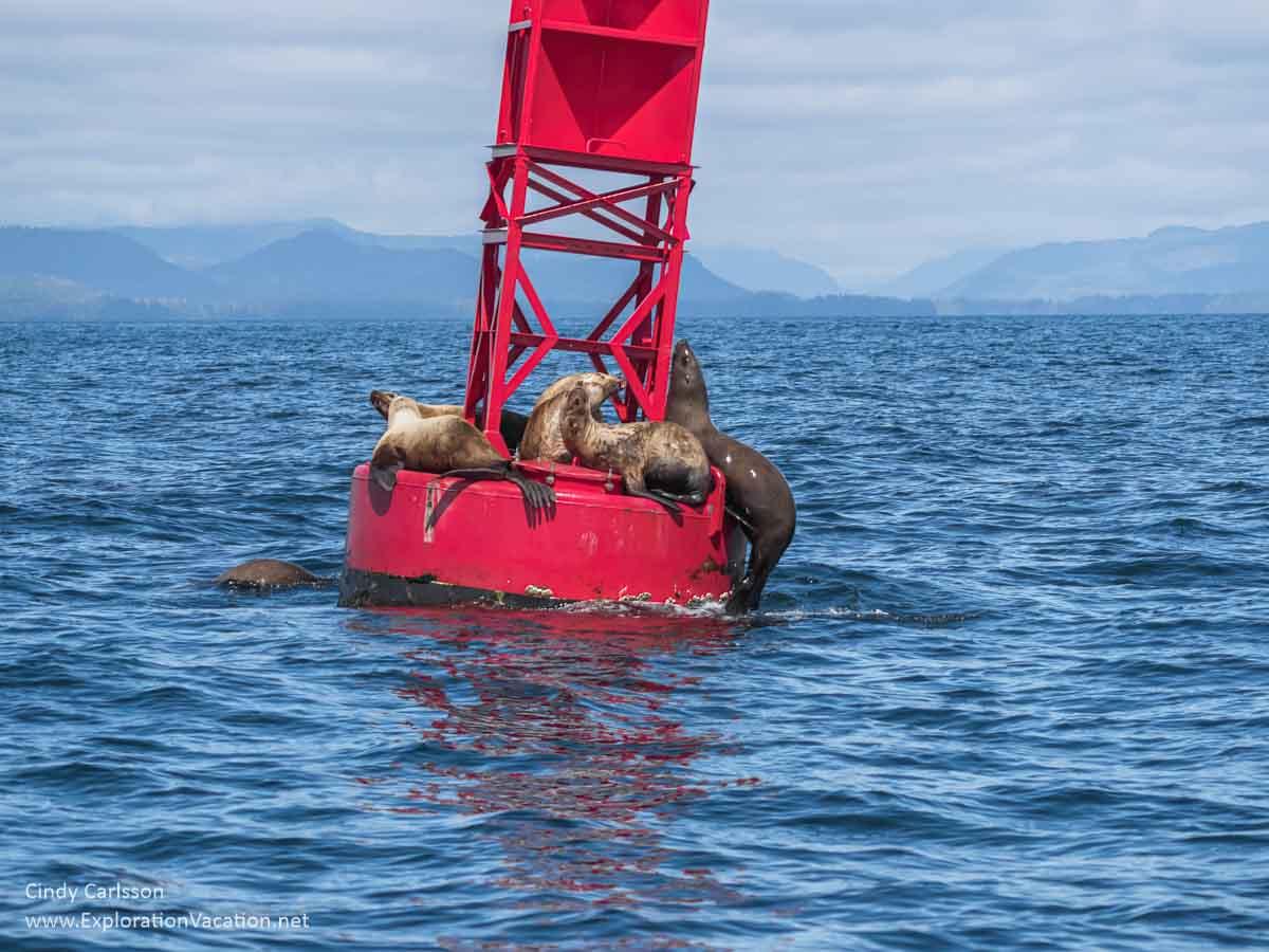 Sea lions crowd a buoy in Sitka Sound Alaska