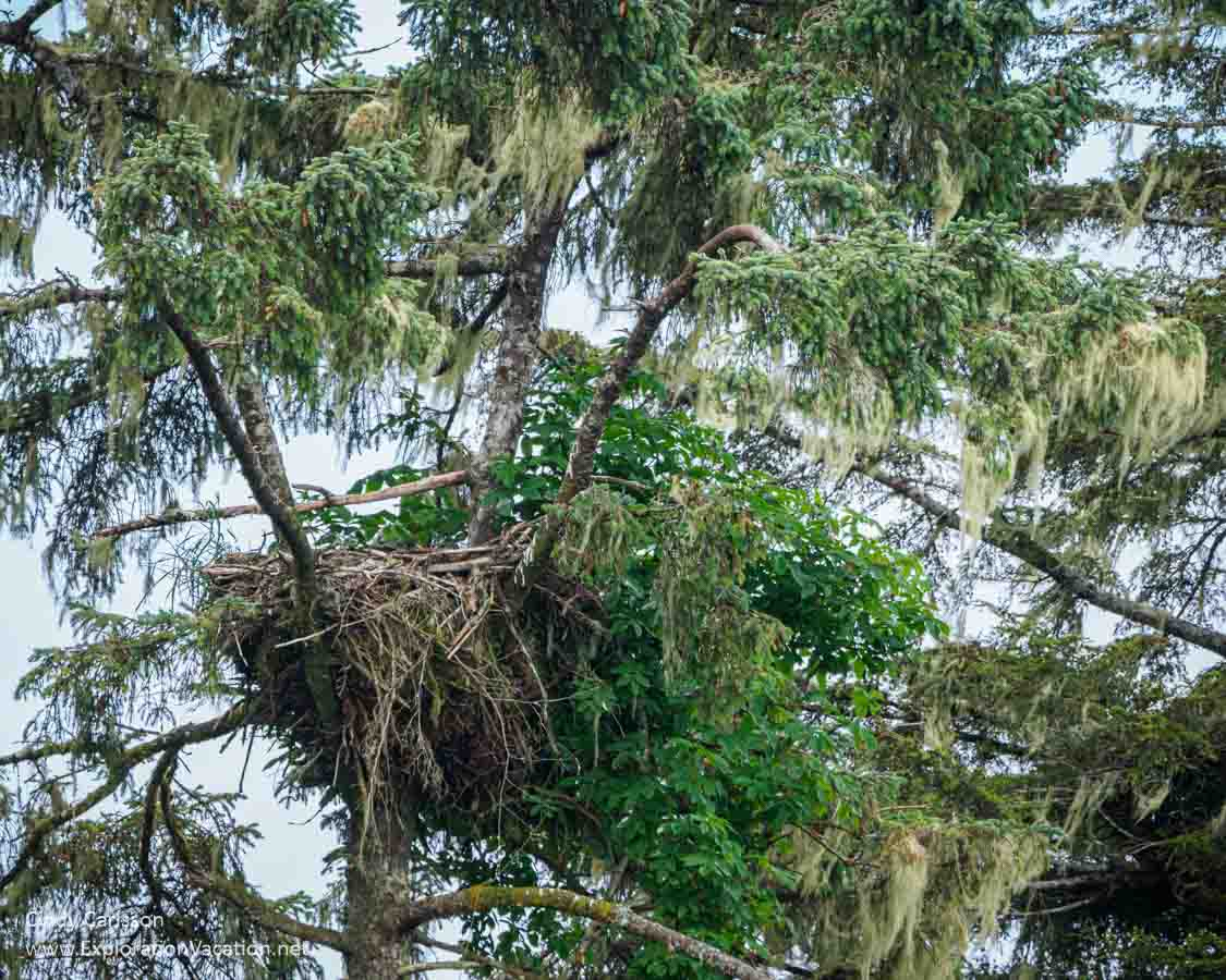 bald eagle nest in a tree