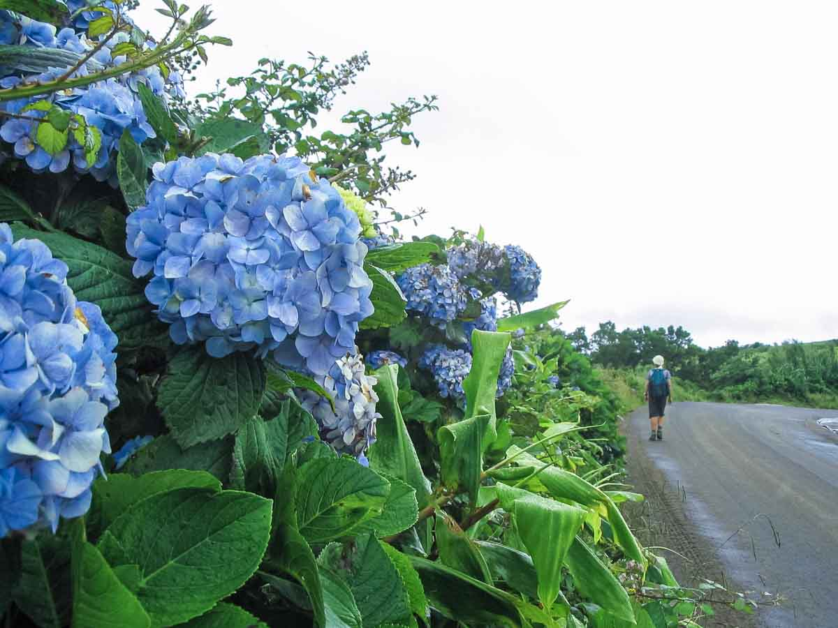 Blue hydrangeas along a road